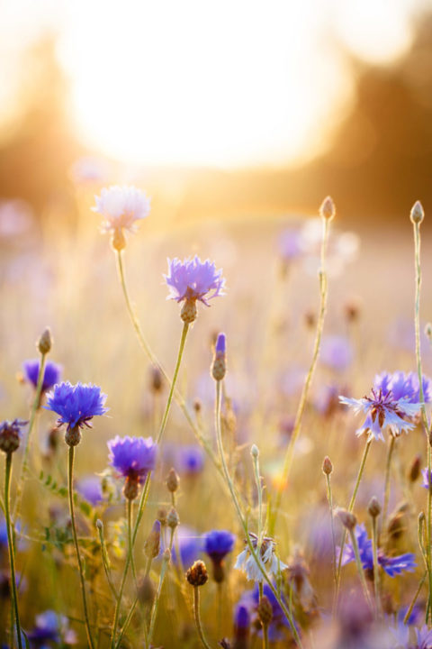 Spring meadow with cornflowers in sunrise.